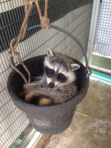 Rescue raccoon sitting in a bucket