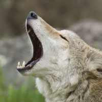 Howling Coyote in deep grass and flowers