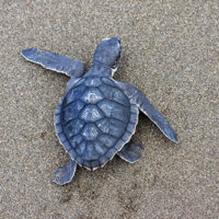 Kemps Ridley Sea Turtle